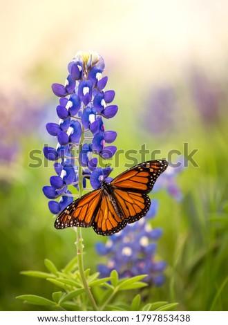 Monarch butterfly (Danaus plexippus) on Texas Bluebonnet flower (Lupinus texensis). Texas concept with two Texas symbols. Stock photo ©