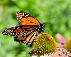 Monarch butterfly (Danaus plexippus) resting on a purple coneflower (Echinacea purpurea). Copy space.  Closeup.