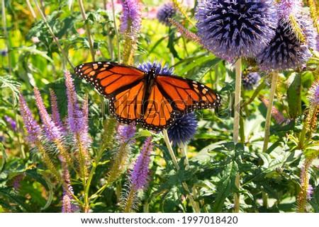 Monarch butterfly 'danaus plexippus' with open wings pollinates purple globe thistle flower Stock photo ©