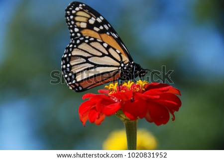 Monarch butterfly drinking nectar from a flower and carrying pollen on its wings