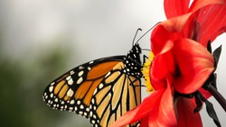 Monarch butterfly drinking nectar from a red dahlia flower