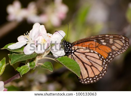Monarch butterfly feeding on a early spring apple blossom, pollinating it