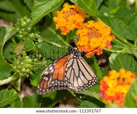 Monarch butterfly feeding on a Lantana flower cluster