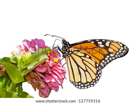 Monarch butterfly feeding on a pink Zinnia, isolated on white