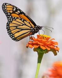 Monarch butterfly feeding on an zinnia flower