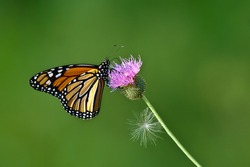 Monarch butterfly feeding on Thistle flower. Natural green background with copy space.