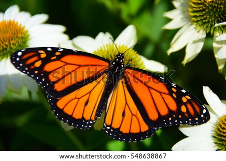 Monarch butterfly feeding on white cone flower #548638867