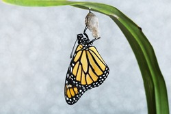 Monarch butterfly hanging from the chrysalis that he hatched from on a sparkling background. Copy space on a horizontal format.
