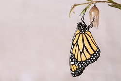 Monarch butterfly hanging from the chrysalis that he hatched from on a variegated white background.