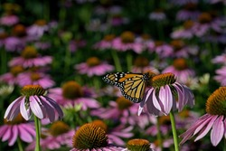 Monarch butterfly in a sea of Echinacea flowers. The monarch is a milkweed butterfly in the family Nymphalid and is threatened by severe habitat loss in much of the USA.