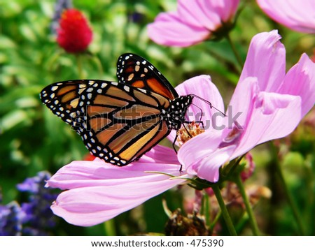 monarch butterfly in blooming garden