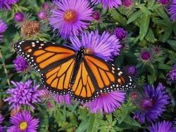 Monarch butterfly in purple Asters