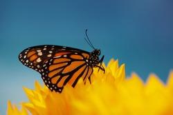 Monarch butterfly in sunflower flower. Macro closeup, shallow DOF.
