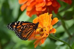 Monarch butterfly in the garden