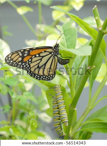monarch butterfly is laying eggs with two caterpillars eating the same milkweed plant. Colors of green and orange are predominant with yellow and beige and black accents. Selective focus on butterfly. - stock photo