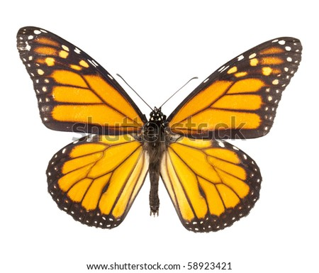 Monarch butterfly isolated on white background. Each with wing in ciritical focus.