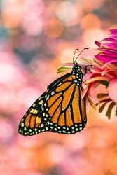 Monarch butterfly macro shots with light spot background