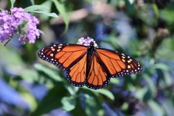 Monarch butterfly migrating in Texas