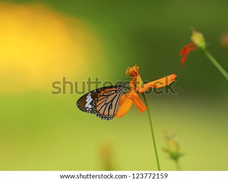 Monarch Butterfly on a blooming flower