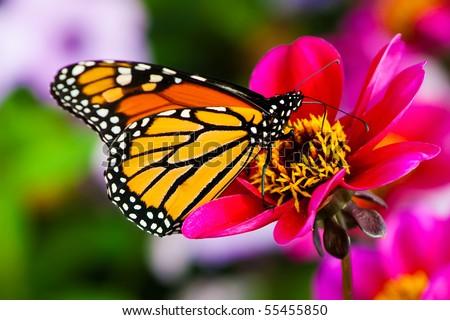 Monarch Butterfly on a Flower.