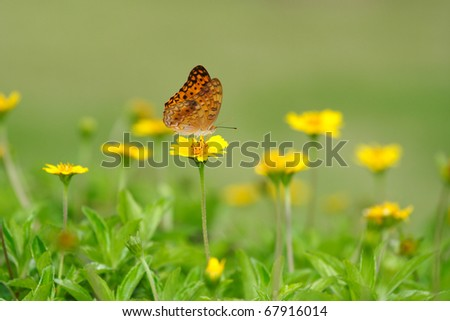 Monarch Butterfly on a little yellow flower in green background