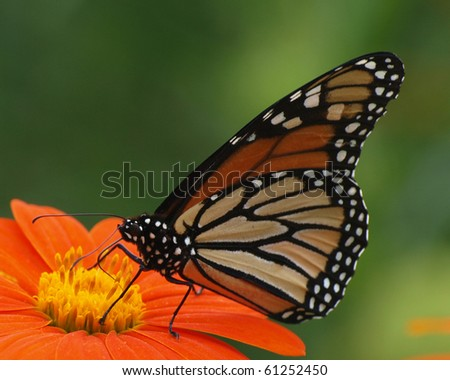 Monarch Butterfly on a Mexican Sunflower - stock photo