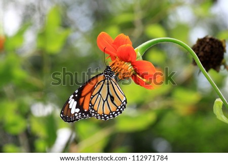 Monarch Butterfly on a Mexican Sunflower in garden