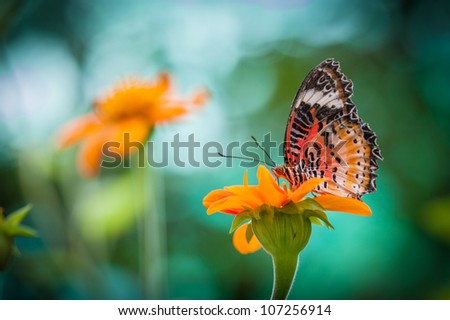 Monarch Butterfly on a Orange Mexican Sunflower
