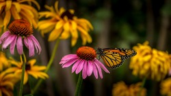 Monarch Butterfly on a Purple Coneflower Echinacea