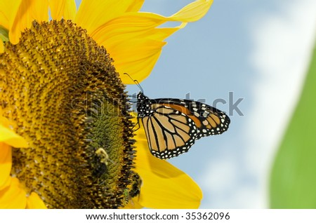 monarch butterfly on a sunflower - stock photo