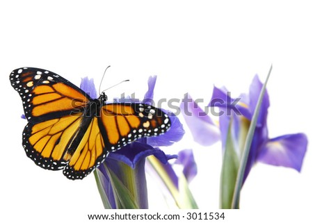 Monarch butterfly on blue flowers with blue isris