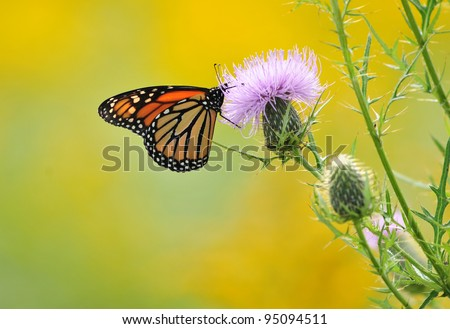 Monarch butterfly on bull thistle flower