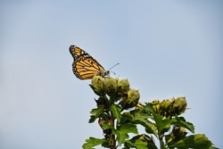 Monarch Butterfly on Flower Buds: A beautiful monarch butterfly with pollen on its face, antennas and wings sits high on hibiscus flower buds