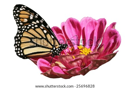 monarch butterfly on flower with clipping path - stock photo