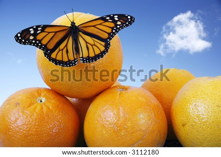 Monarch butterfly on juicy oranges with blue sky