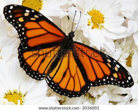 Monarch butterfly on mass of white flowers