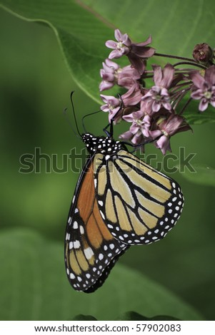 Monarch butterfly on milkweed flower - stock photo