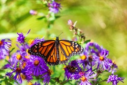 Monarch butterfly on purple asters flowers in Autumn nature garden background. Butterflies flying outdoor.
