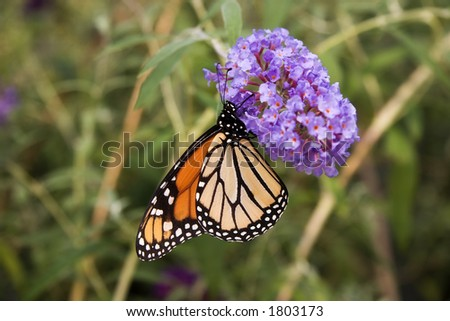Monarch Butterfly on Purple Butterfly Bush Bloom