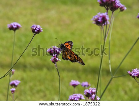 Monarch Butterfly on Purple Wildflowers