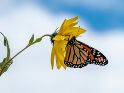 Monarch butterfly on sunflower with blue sky