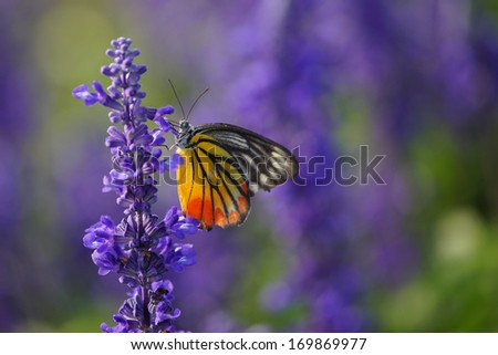 Monarch Butterfly on the Lavender in Garden.  #169869977