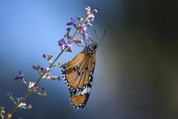 Monarch Butterfly on Wildflower outdoor