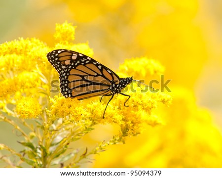 Monarch butterfly perched on goldenrod flowers