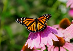 Monarch butterfly pollinating a pink coneflower