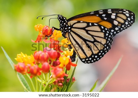 Monarch butterfly resting on a flower