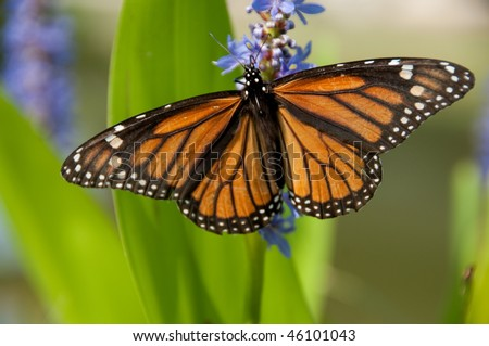 Monarch Butterfly resting on Lilac Flowers