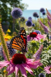 Monarch Butterfly sips nectar from beautiful wildflowers in a perennial garden during Summer