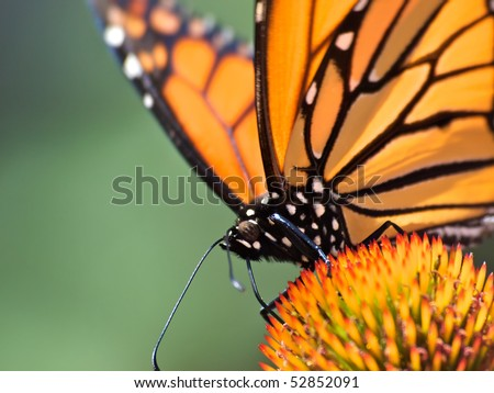 Monarch Butterfly sitting on cone flower. Close up head shot with selective focus on butterfly eye. Soft green background,room for text.