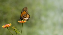 Monarch butterfly standing on pink and yellow lantana flower head eating nectar. Image with negative space at right side and soft green background for content or writing text message